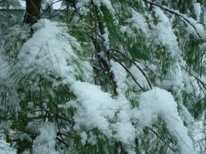 snow-on-pine